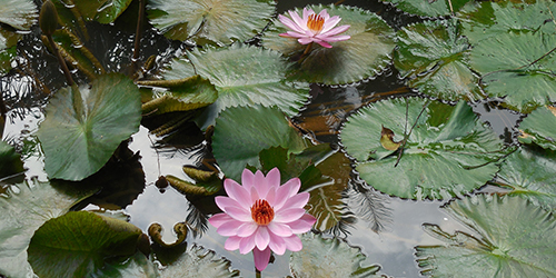 Pink water lilies in Singapore