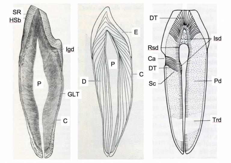 Anterior Teeth