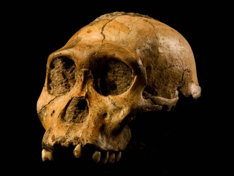 Australopithecus sediba (MH1)