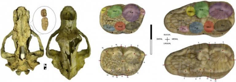 A Cave Bear Cranium from Scladina Cave