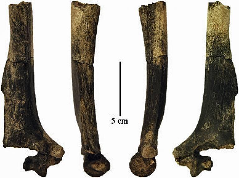 KNM-ER 47000B - Paranthropus boisei