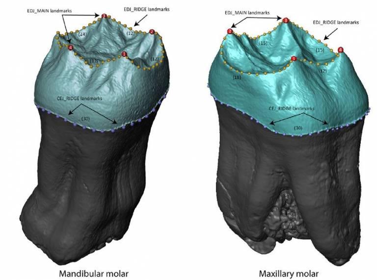 Mandibular and Maxillary Molars