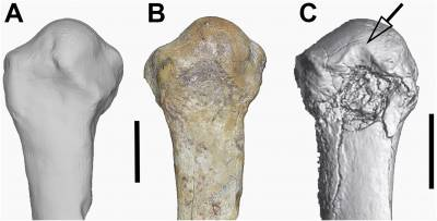Comparison of the GWM67/P2k and ARA-VP-6/500-089 first metatarsals in dorsal view.