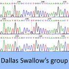 dallas swallows group