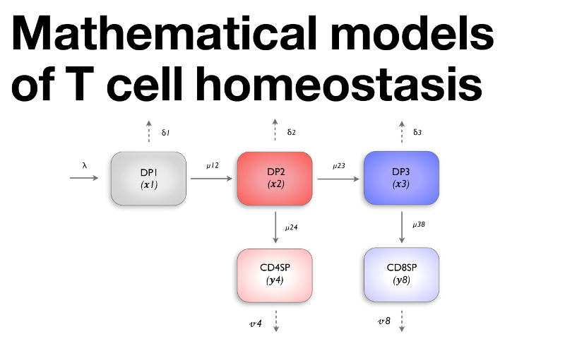 Mathematical models of T cell homeostasis