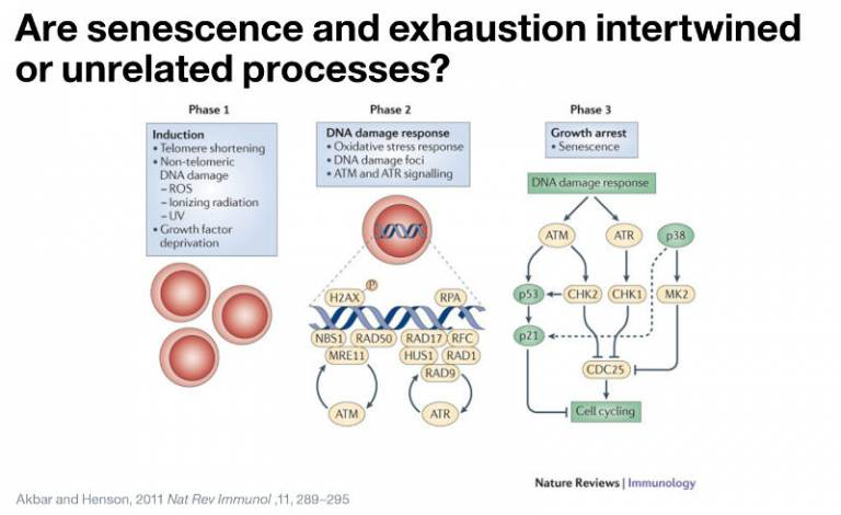 Are senescence and exhaustion intertwined or unrelated processes?