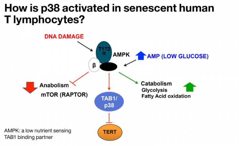 How is p38 activated in senescent human T lymphocytes?