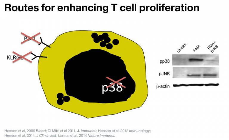 Routes for enhancing T cell proliferation