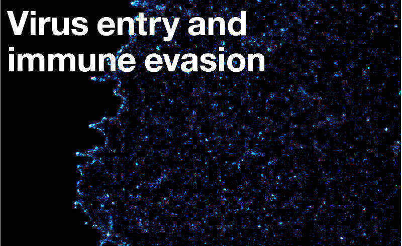 Virus entry and immune evasion