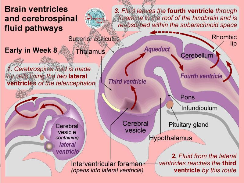 cerebrospinal fluid pathway