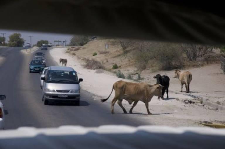 Botswana Cattle road