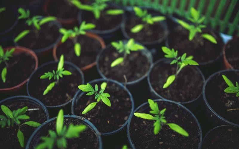 Young tomato plants. Image: Kaboompics.com via Pexels