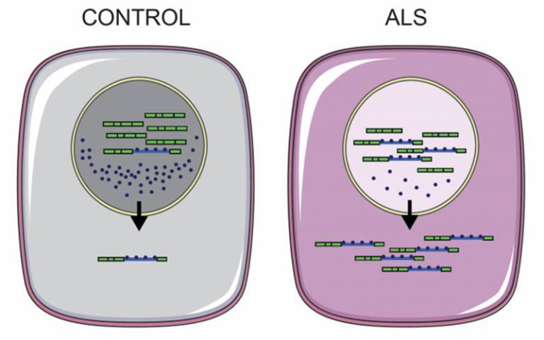 Schematic model depicting intron retaining transcripts with bound RNA binding proteins being exported to the cytoplasm more in ALS than control cells.