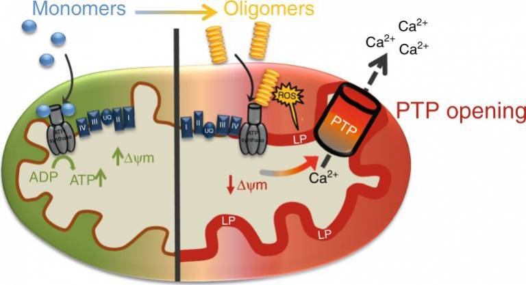 Schematic diagram of oligomeric α-synuclein effects on mitochondria