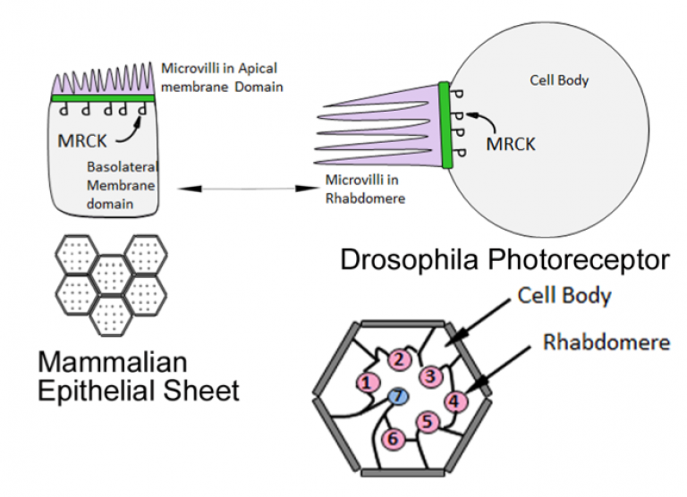 An evolutionarily conserved RhoGTPase-MRCK mechanism controls epithelial apical morphogenesis during polarization
