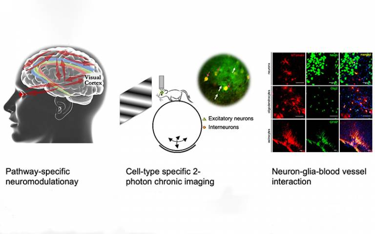Picture shows Excitatory neurons and inhibitory
