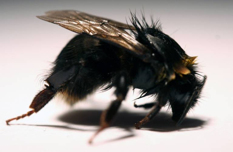 Bee exposed to Imidacloprid, with bent front legs, withdrawn antenna, and matted fur causing loss of yellow colouration. Source: Study authors…