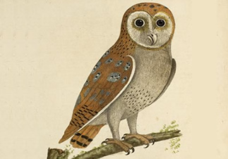 Barn owl from 'A natural history of birds' by Eleazar Albin