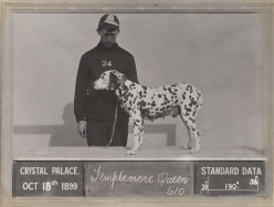 Dalmation Templemore Queen
