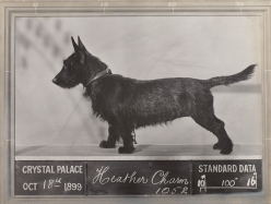 Scottish Terrier Heather Bob