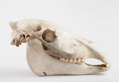 Image of skull, decorative
