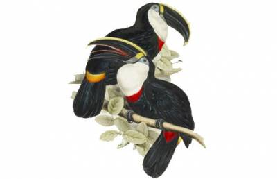 Gould's Toucan