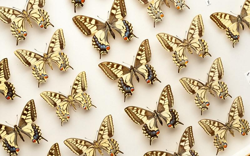 Pinned entomology; butterfiles