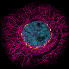 Fluorescent cell showing nucleus and cytoskeleton