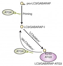 Schematic of human ATG4 protease cellular function in protein deconjugation