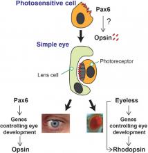 model of evolution of human eye