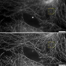 Super resolution image of microtubules