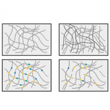 Schematic cartoon of basement membrane