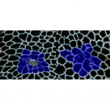 Comparison of wound healing in Drosophila wing disc