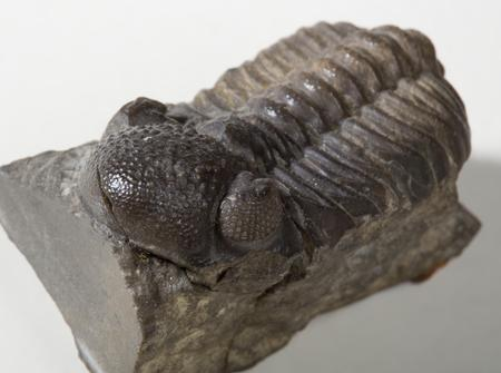Fossil trilobite. Photo: UCL Geology Collections