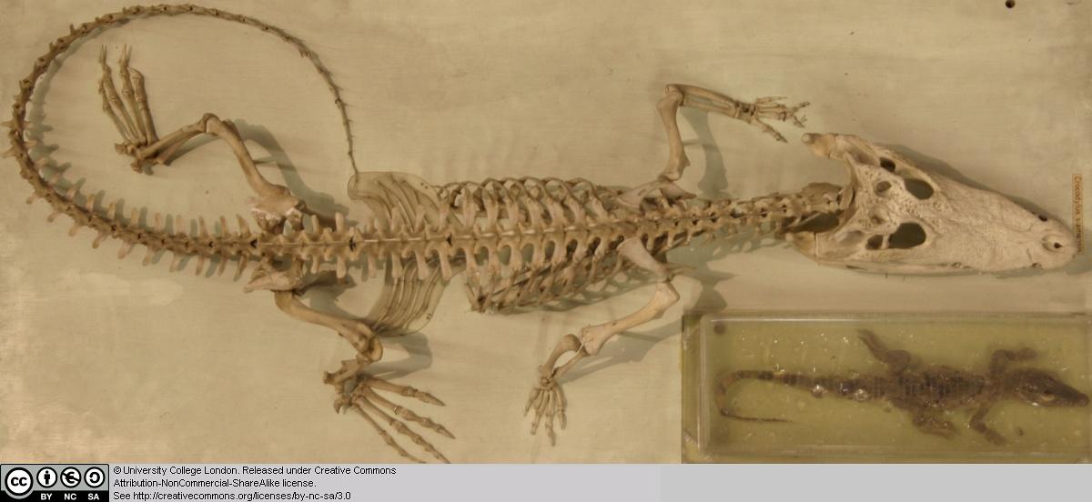 Crocodile skeleton - photo#26