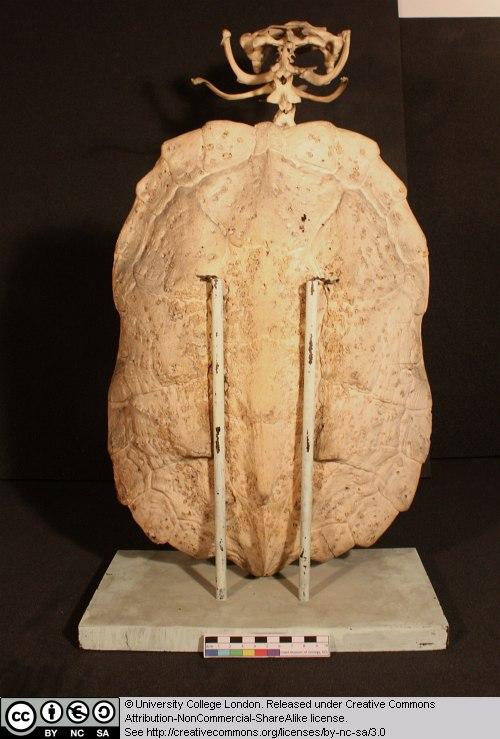 1 5 Chelys Frimbriata Matamata