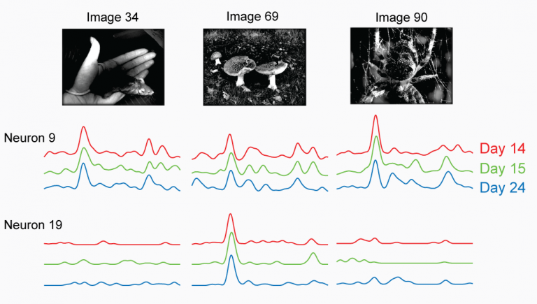 Visual responses of the same neurons across days