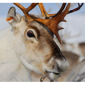 Reindeers Eyes Change Colour With Arctic Seasons Ucl News Ucl