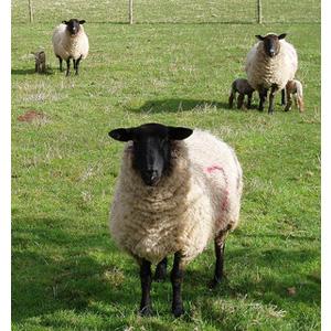 Sheep farming