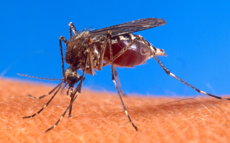 Mosquito genome opens new avenues for reducing disease