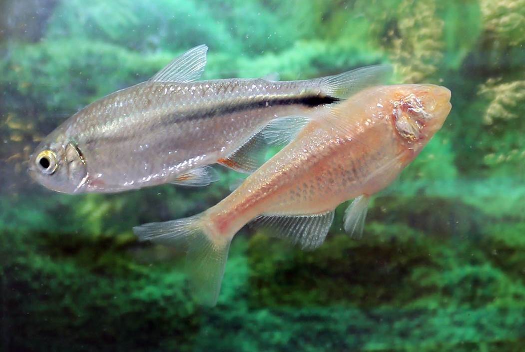 Mexican tetra fish and Pachon cave fish
