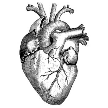 Engraving of human heart