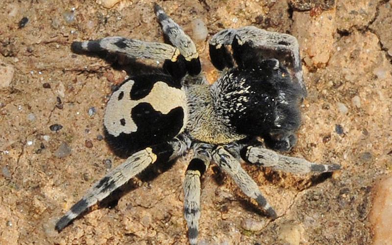 Loureedia colleni spider