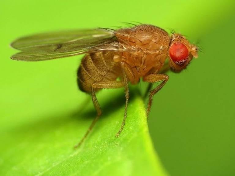 Drosophila fly