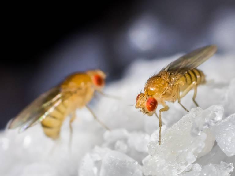 Lithium fruit flies