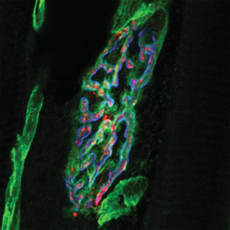 Image showing how tetanus neurotoxin (red) binds to areas rich in nidogen-2 (green)