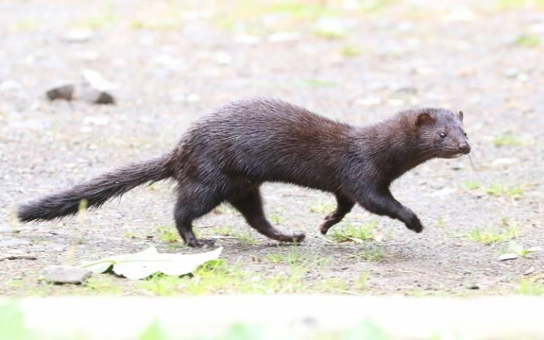 American mink in Scotland