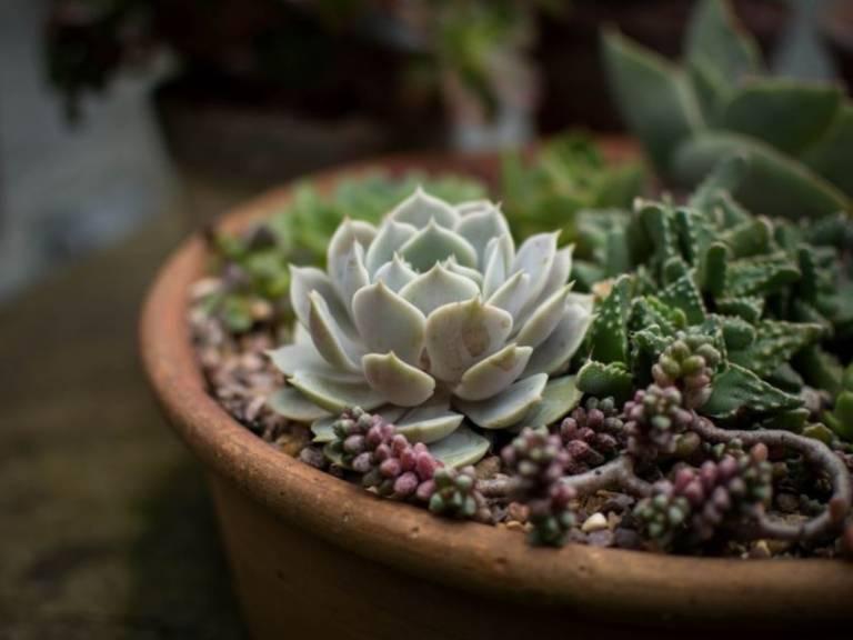 Cacti crop