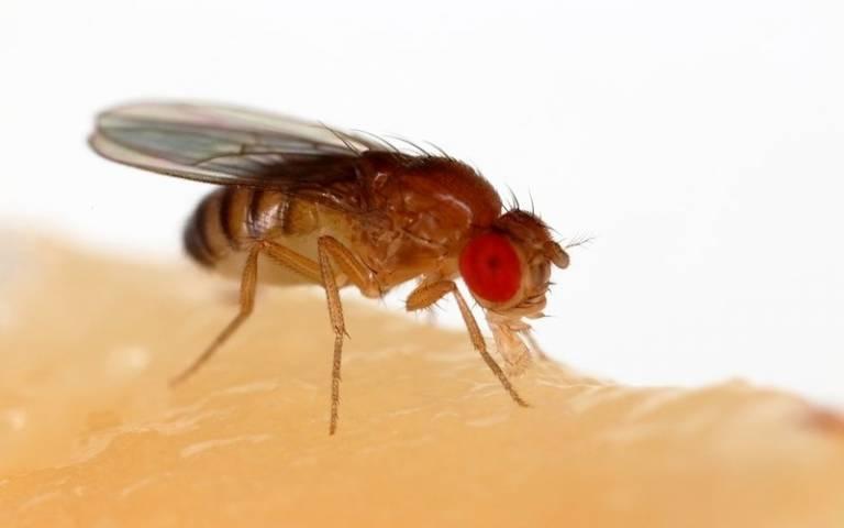 The common fruit fly (Drosophila melanogaster)