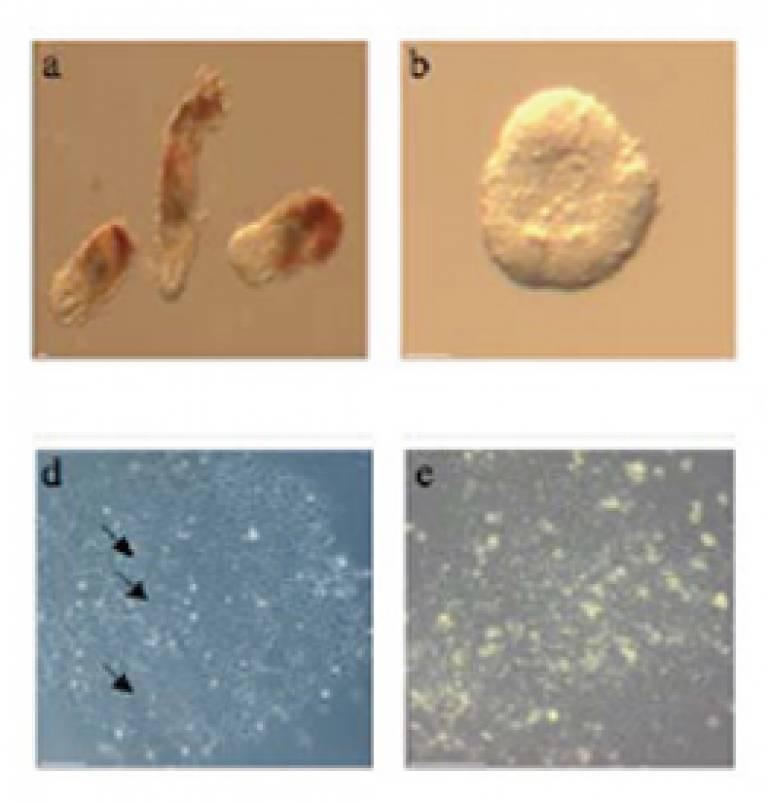 epiblast stem cells